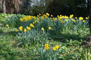 woodland-daffodils